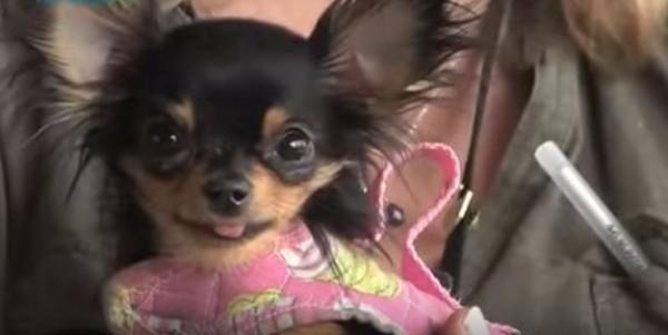 [VIDEO] BeeBee The Amazing Chihuahua