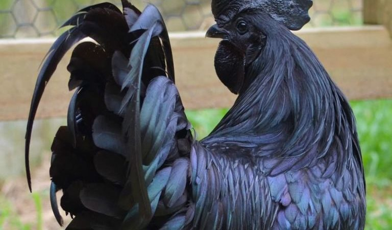 People Are Obsessed With These Rare, All-Black Chickens