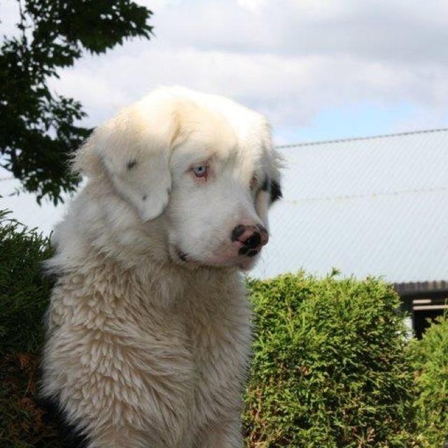 Here's a rare albinoBernese mountain dog.