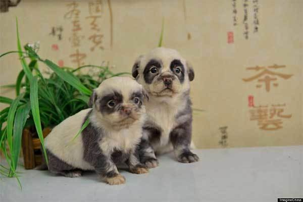 These little panda-looking puppies are from Yancheng, China.