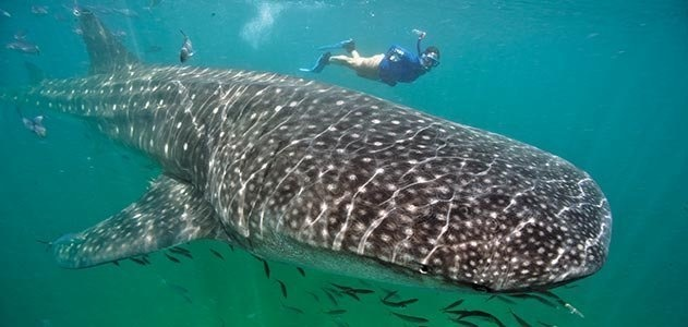 Swim with a whale shark in the Yucatán Peninsula.