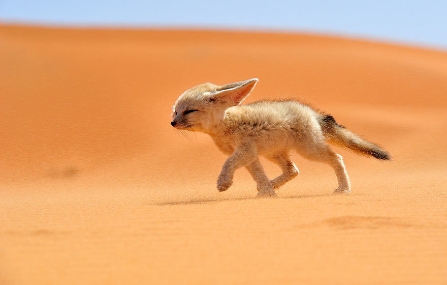 Fennec foxes have huge ears that radiate body heat and help cool them in the Sahara heat.