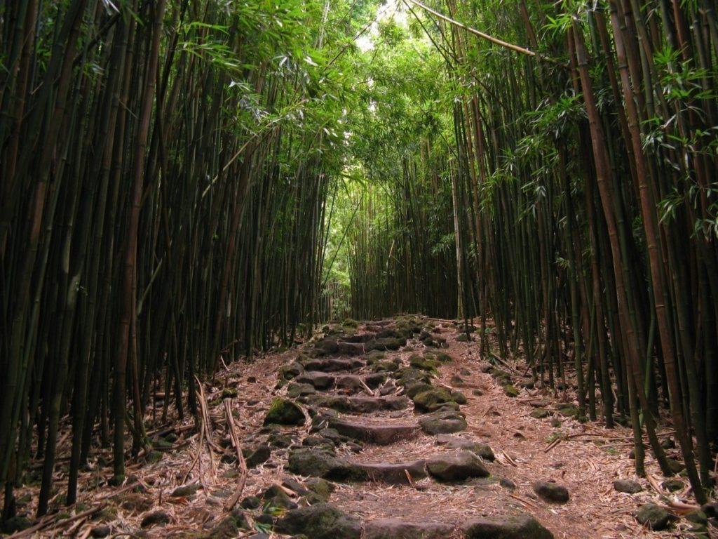 Walk through a bamboo forest along the Pipiwai Trail in Haleakala National Park, Maui, Hawaii.