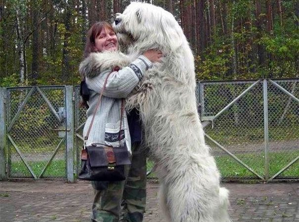 18 HUGE Dogs That Don't Know How Big They Are. #17 Is My Favorite.